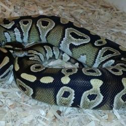 Mojave ball python.