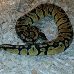 Pastel ball python.