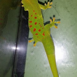 Giant day gecko.