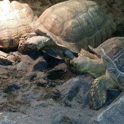 3 of our 7 sulcata tortoises!