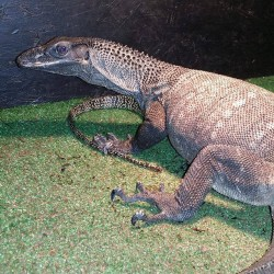 Roughneck monitor lizard.