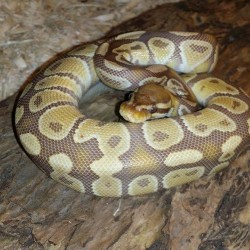 Caramel ball python.