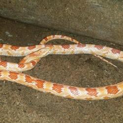 Albino corn snake.