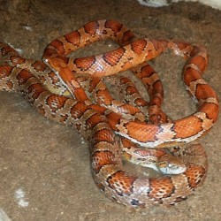 Normal Corn snakes.