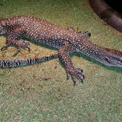 Mangrove monitor lizard.