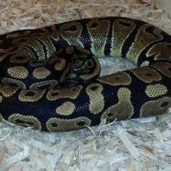 Normal ball python.