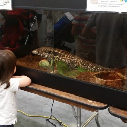 A child looking at the beautiful Argentine Tegu