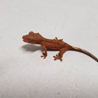 Baby Crested Gecko $60