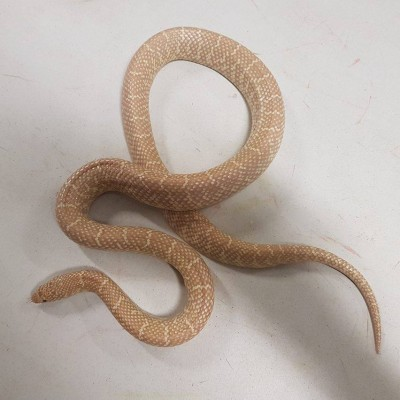 Female Albino Florida King Snake. Approximately 3 feet long.  $60
