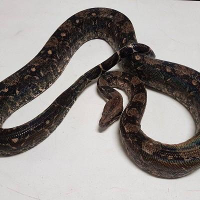 Male Desert Sonoran Boa. Approximately 4 feet long. $125