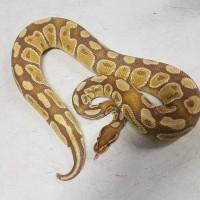 Male Caramel Albino Ball Python $200