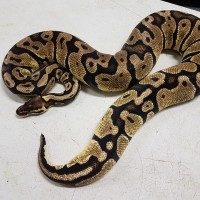 Female Pastel Ball Python $75