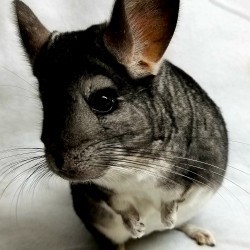 "This is Simon the Chinchilla. He was surrendered in 2015 when his previous owner no longer had time for him. Now he lives with 4 other chinchillas and actually has a little family! Him and his daughter ""Oops"" usually go to all presentations."