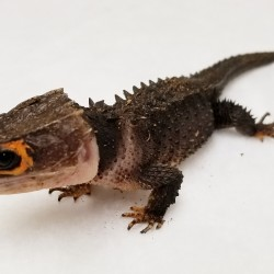 This little beauty is Toothless the red eyed crocodile skink. He is probably the most prehistoric looking animal we bring out!
