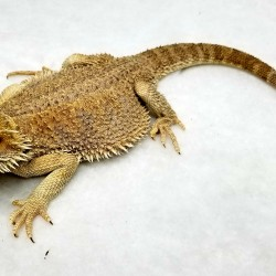 This is a normal bearded dragon that was surrendered in 2017 at 2 months of age. The reason you might ask? He was getting too large and scary for his owners… A little research goes a long way!