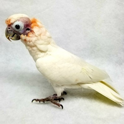 Tia is our oddly beautiful goffins cockatoo. We got her from rescue back in 2016 that got her from another rescue…The original rescue had her housed with MANY other cockatoos and there were some bully birds that plucked her head feathers off… She has grown a few back over the years but I think she will always look like this. We still lover her!