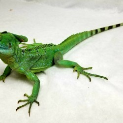 Ducky the green basilisk is one of the favorites at presentations! He loves spending time jumping on people hands, shoulders, heads or anything else in his path!