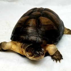 "This is a very cool African ""hinge"" sideneck turtle. She was surrendered in 2012 with about 8 other turtles by a man who had about 50 turtles in his apartment and needed to downsize!"