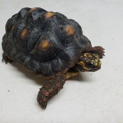 This little red foot tortoise is one of two that were surrendered in early 2020 after his owner decided he was going to live in his van for a few years and obviously couldn't take tortoise on his journey. – Copy