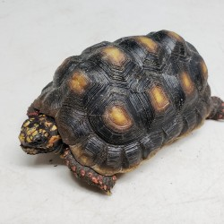 This little red foot tortoise is one of two that were surrendered in early 2020 after his owner decided he was going to live in his van for a few years and obviously couldn't take tortoise on his journey.