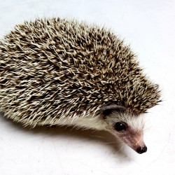 Gertude is our main presentation hedgehog. She was actually surrendered by a former volunteer after getting in to university and not being able to take her to the dorm. Gertrude is a very outgoing hedgehog and is not very shy at all!