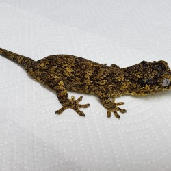 This male gargoyle gecko was surrendered in 2013 along with his girlfriend. They were display animals at a local store but they moved and no longer had room for them.
