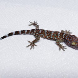 This beautiful little gecko will one day grow up to be one of the largest geckos in the world! Hopefully he doesn't have the usual attitude that Tokay geckos have!