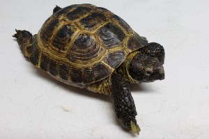Franklin is one of our 3 Russian tortoises. He was apparently found in a park in a part in Vancouver in about 2014 and then went through about 4 homes in a year before being surrendered to us.