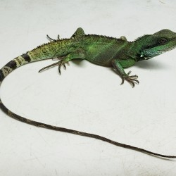 This Asian water dragon was surrendered in mid 2019. His owner could not provide the proper enclosure for him as he grew larger. He is very shy but we are working on him!