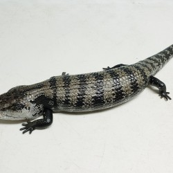This blue tongue skink was surrendered in late 2019 after his owner decided he needed a better home with more attention. He is not the friendliest but we are working on him…