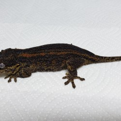 This female gargoyle gecko was surrendered in 2015. Her owners moved away and could not take her with them.