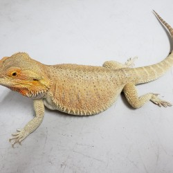 This beautiful female bearded dragon was surrendered in early 2020. She was purchased for a child and when they got bored of her they asked if we could take her in.