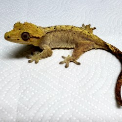 Littlefoot is a female crested gecko that was surrendered in early 2019 after her owners were moving far away and couldn't take her with them.